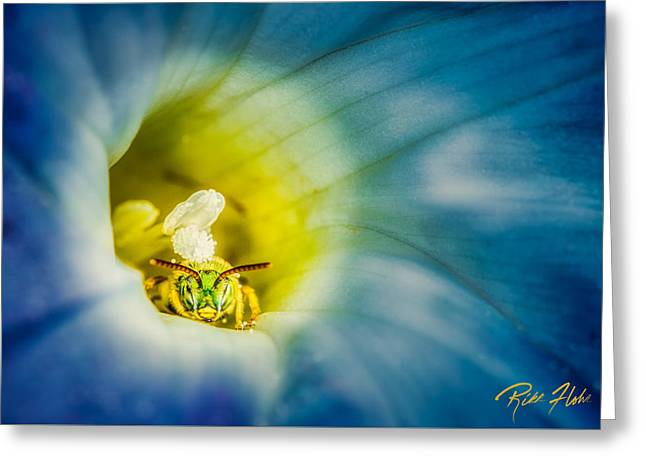 Metallic Green Bee In Blue Morning Glory Greeting Card by Rikk Flohr
