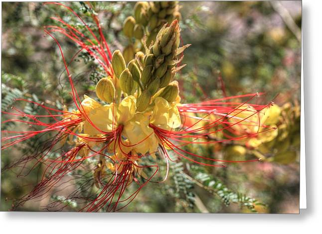 Mexican Bird Of Paradise Greeting Card by Donna Kennedy