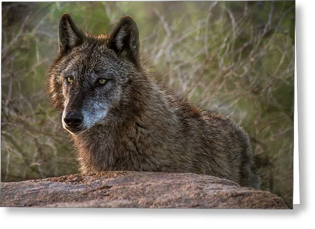 Mexican Gray Wolf At Sunrise Greeting Card