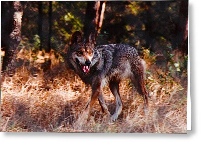 Mexican Red Wolf Greeting Card by DiDi Higginbotham