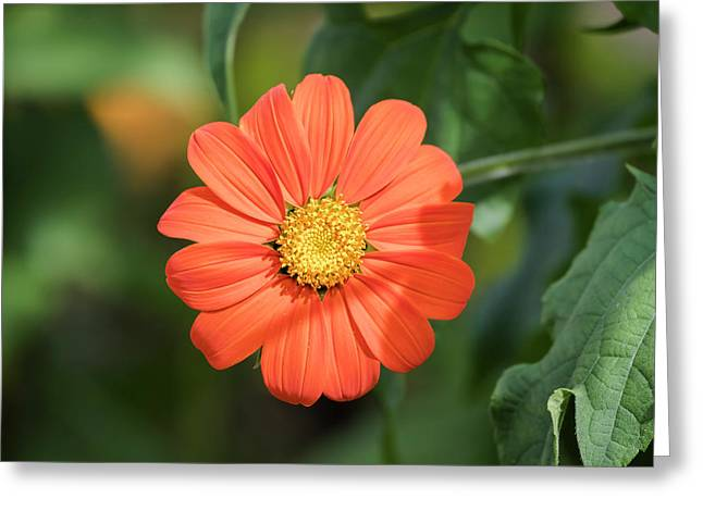 Mexican Sunflower 2017-1 Greeting Card
