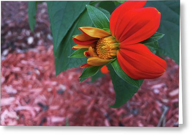 Mexican Sunflower In Mid Bloom Greeting Card