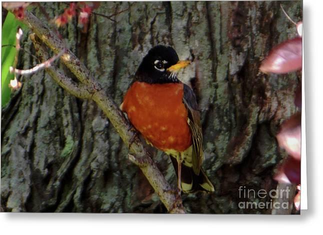 Michigan State Bird Robin Greeting Card