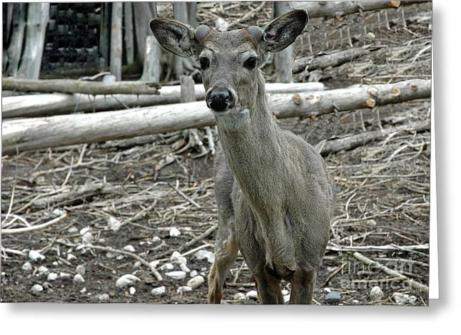 Greeting Card featuring the photograph Michigan White Tail Deer by LeeAnn McLaneGoetz McLaneGoetzStudioLLCcom