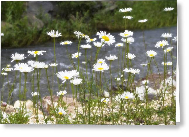 Mickelson Trail Daisies Greeting Card