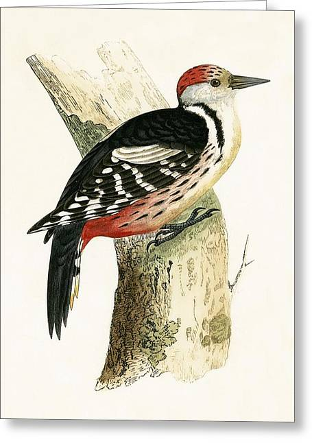 Middle Spotted Woodpecker Greeting Card
