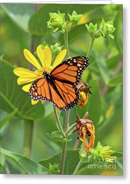 Mighty Monarch   Greeting Card