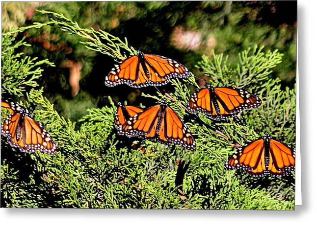 Greeting Card featuring the photograph Migrating Monarchs by AJ Schibig