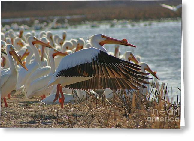 Migrating Pelicans  Greeting Card by Shari Morehead