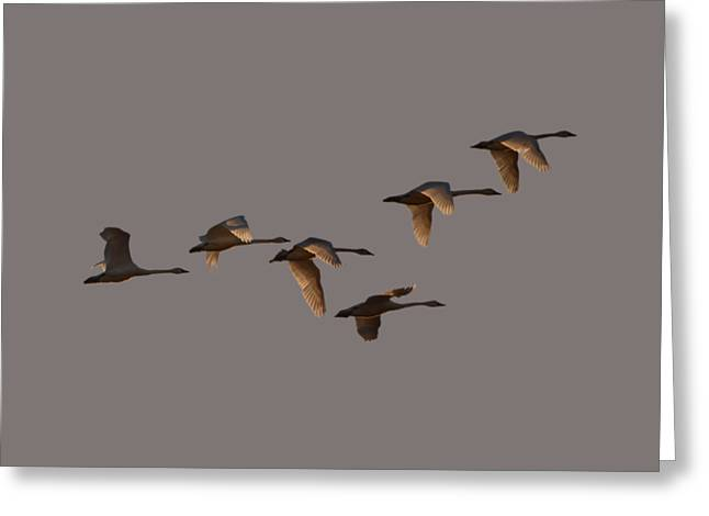 Migrating Swans Greeting Card