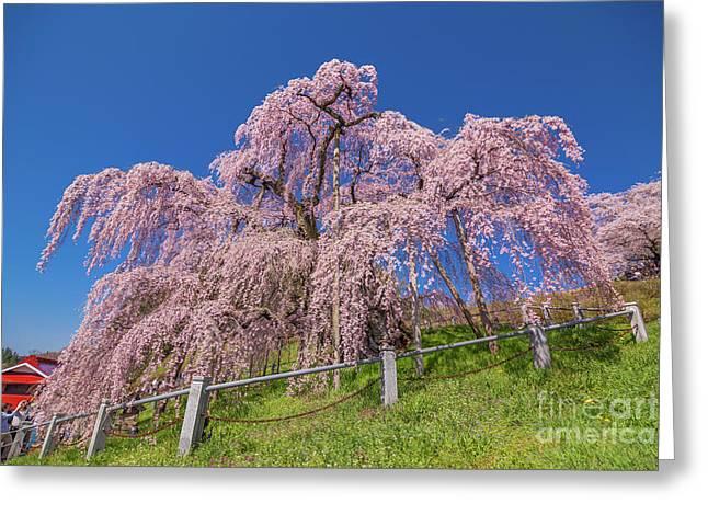 Greeting Card featuring the photograph Miharu Takizakura Weeping Cherry0565 by Tatsuya Atarashi