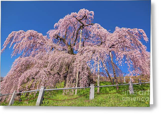 Greeting Card featuring the photograph Miharu Takizakura Weeping Cherry31 by Tatsuya Atarashi