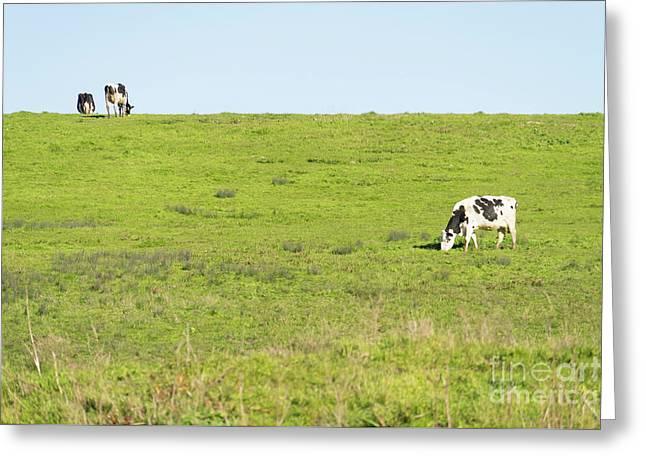 Milk Cow At Point Reyes National Seashore California Dsc4882 Greeting Card