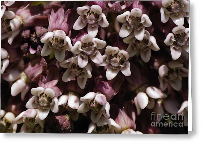 Milkweed Florets Greeting Card