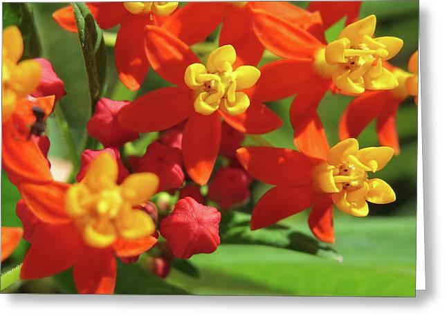 Milkweed Flowers Greeting Card