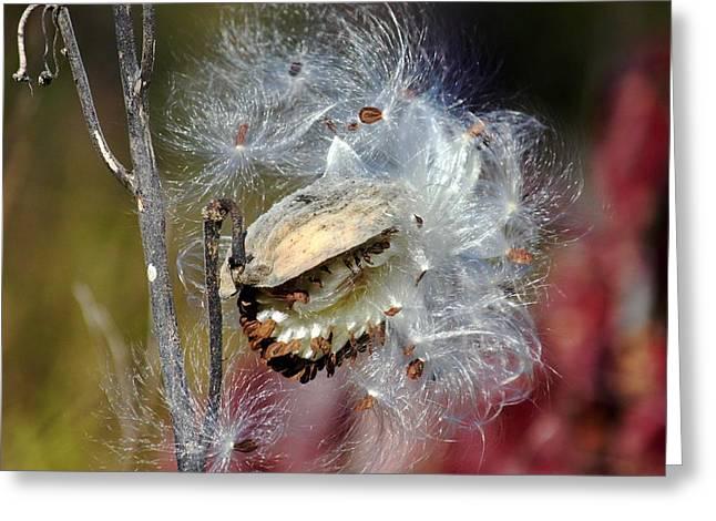 Milkweed Silk Greeting Card