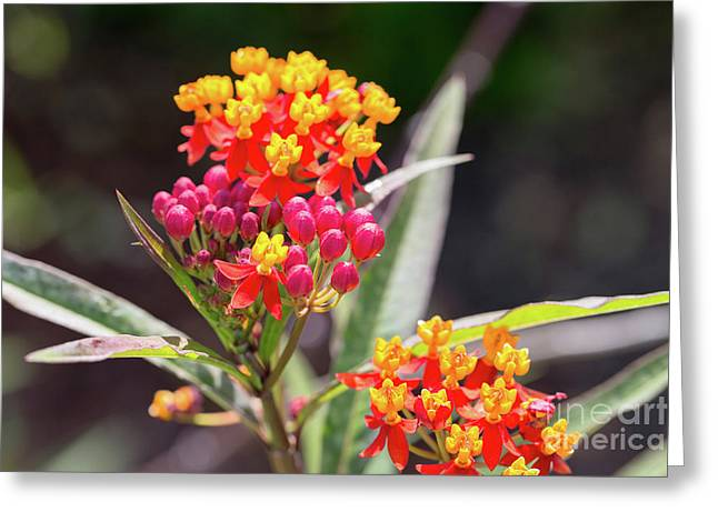 Milkweed Silky Deep Red Greeting Card by Louise Heusinkveld