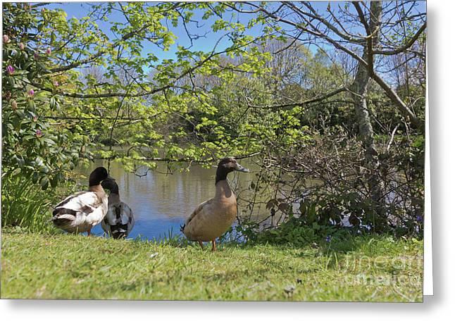 Millpond Ducks Hayle Greeting Card by Terri Waters
