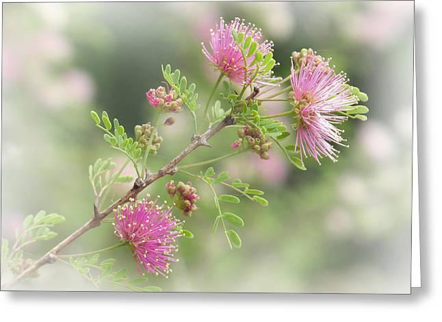 Mimosa Greeting Card by David and Carol Kelly