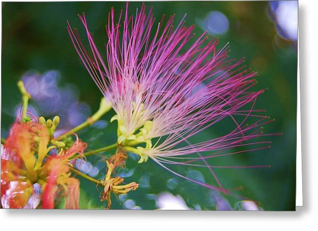 Mimosa Fairy Greeting Card by Beverly Hammond