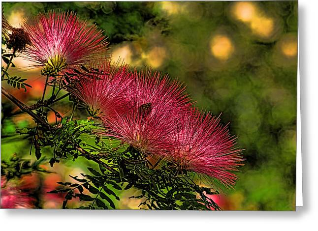 Mimosa Flowers Greeting Card by HH Photography of Florida