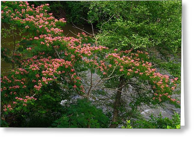 Mimosa On The Dan River Greeting Card by Kathryn Meyer
