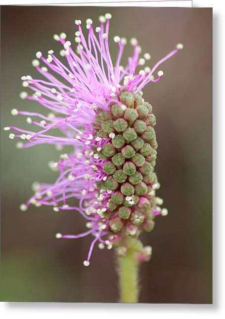 Mimosa Pudica Flower Greeting Card by Julie Rubacha