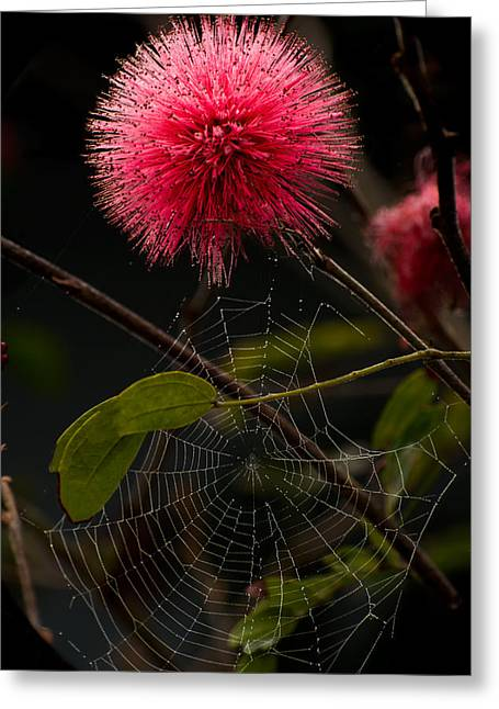 Mimosa Pudica Greeting Card by Zina Stromberg
