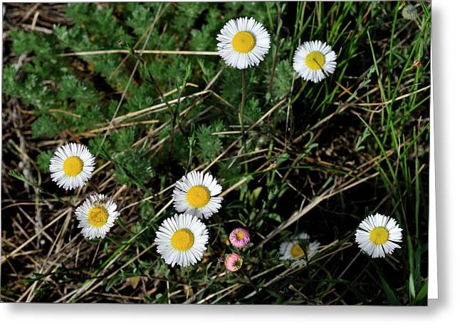 Mini Daisies Greeting Card