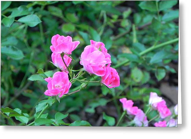 Mini Roses Greeting Card by John Parry