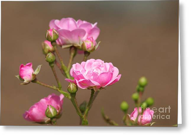 Miniature Pink Roses Greeting Card by Sharon Talson