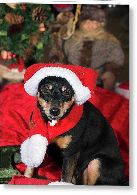 Miniature Pinscher Wishing A Merry Christmas Greeting Card by Christian Lagereek