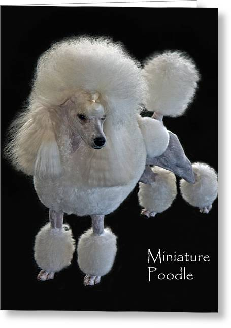 Miniature Poodle Greeting Card by Larry Linton