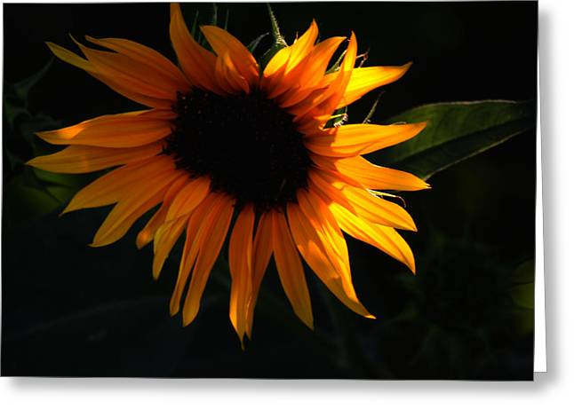 Miniature Sunflower Greeting Card by Martin Morehead