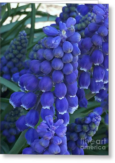 Miniture Grape Hyacinths Greeting Card
