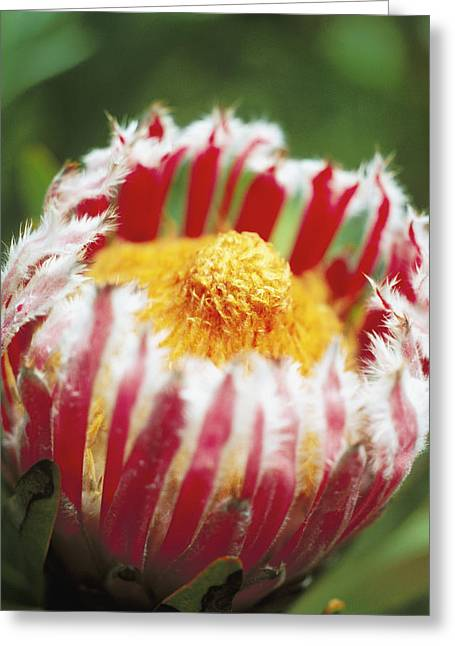 Mink Protea Greeting Card by Allan Seiden - Printscapes