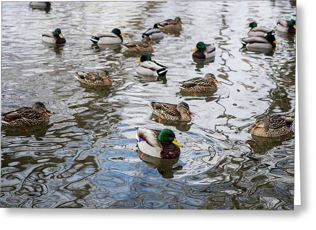 Minnesota Ducks Greeting Card