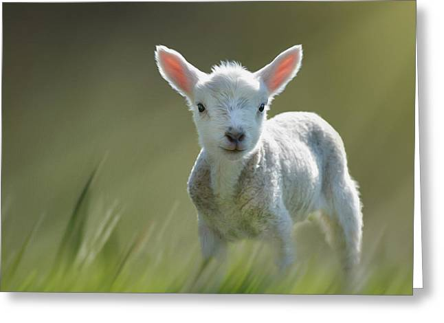 Minnie The Spring Lamb Greeting Card