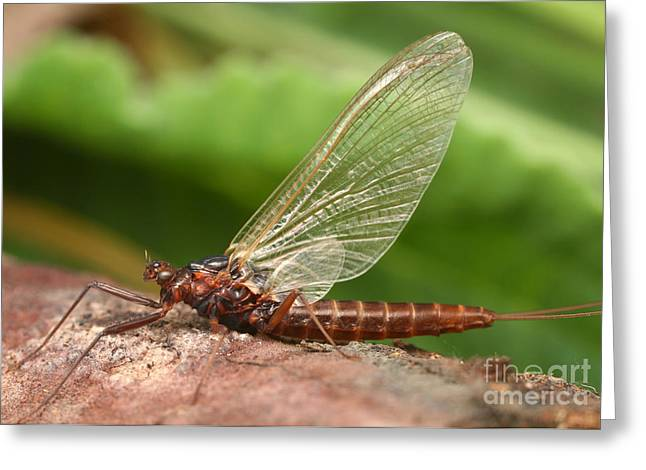 Minnow Mayfly Greeting Card