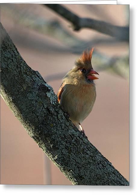 Miss Cardinal Greeting Card