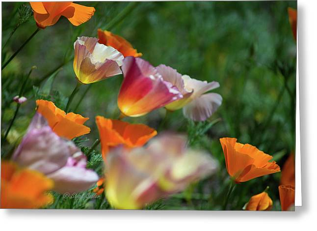 Mission Bell Poppies Greeting Card