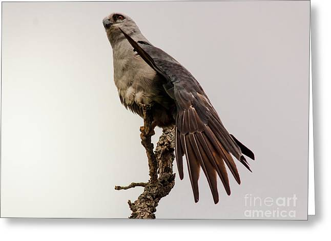 Mississippi Kite On Limb Greeting Card by Robert Frederick