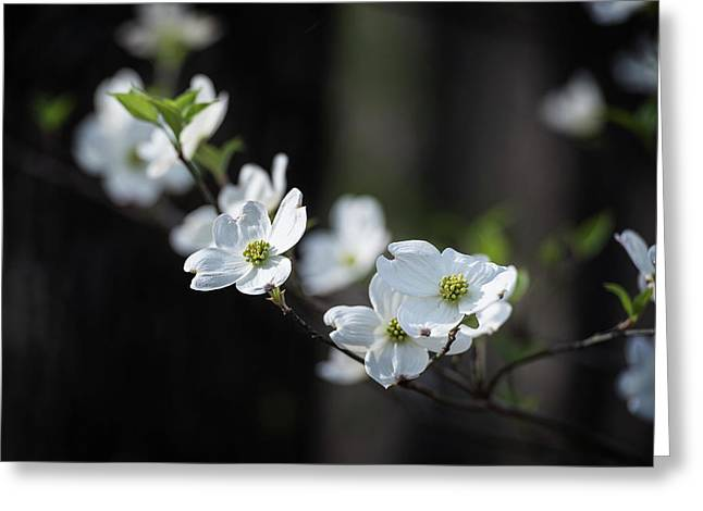 Missouri Dogwood Greeting Card