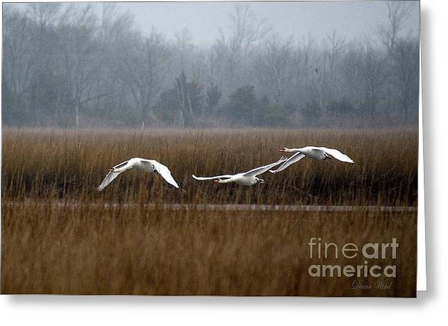Misty Mute Swans Soaring South Jersey Wetlands Greeting Card by Diana Wind