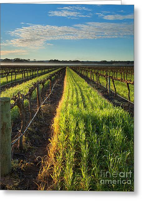 Misty Vineyard Morning Greeting Card by Mike Dawson