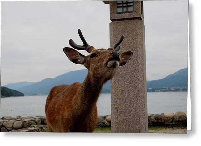 Miyajima Deer Greeting Card