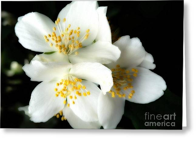 Mock Orange #3 Greeting Card by Marcia Lee Jones