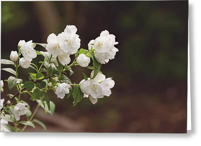Greeting Card featuring the photograph Mock Orange Blossoms by Kim Hojnacki