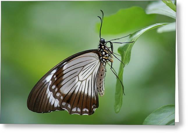 Mocker Swallowtail Greeting Card by Jeff VanDyke