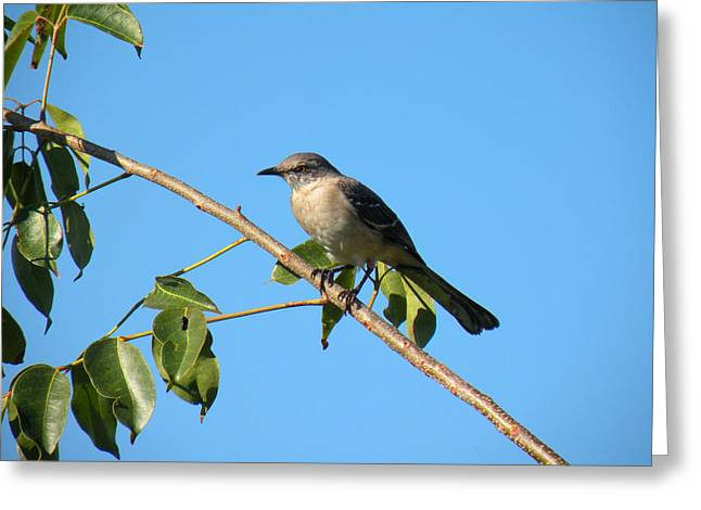 Mocking Bird Out On A Limb Greeting Card by Rosalie Scanlon